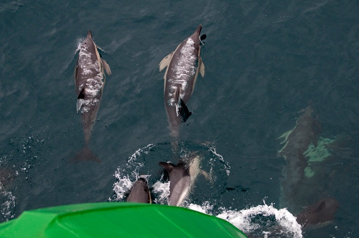 025---Short-beaked-common-dolphin---MAR 8650