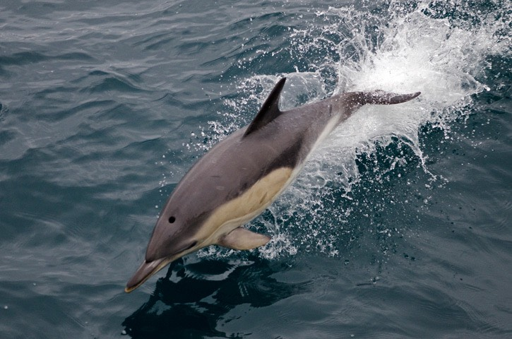 025---Short-beaked-common-dolphin---MM7 9360
