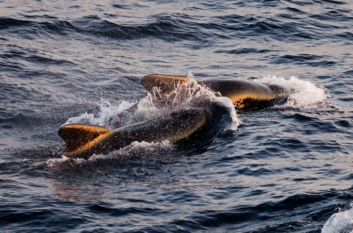 031---Long-finned-pilot-whale---MM7 9773