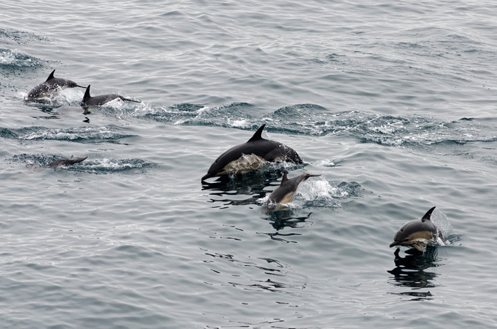 043+044---Short-beaked-common-dolphin---MM7 0332