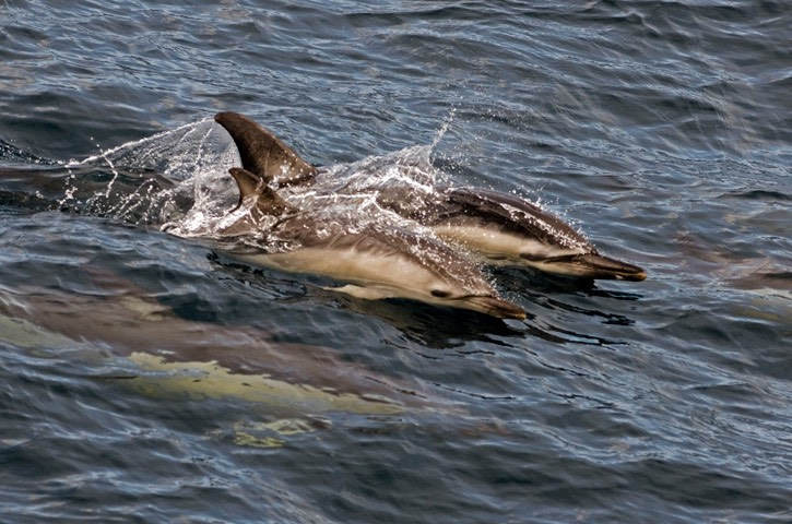 079---Short-beaked-common-dolphin---MM7 0784