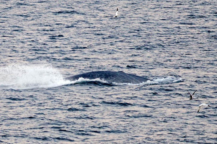 Blue-whale---MM7 0889