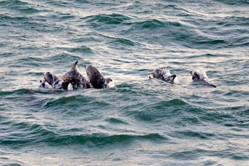 Rough-toothed-dolphins---MM7 0468