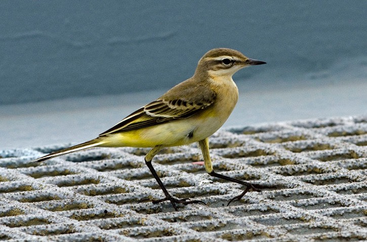 W1---Yellow-wagtail---MM7 4404