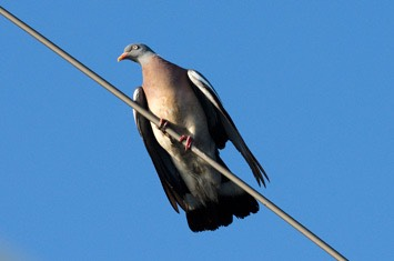 Wood-pidgeon---MM7 9136